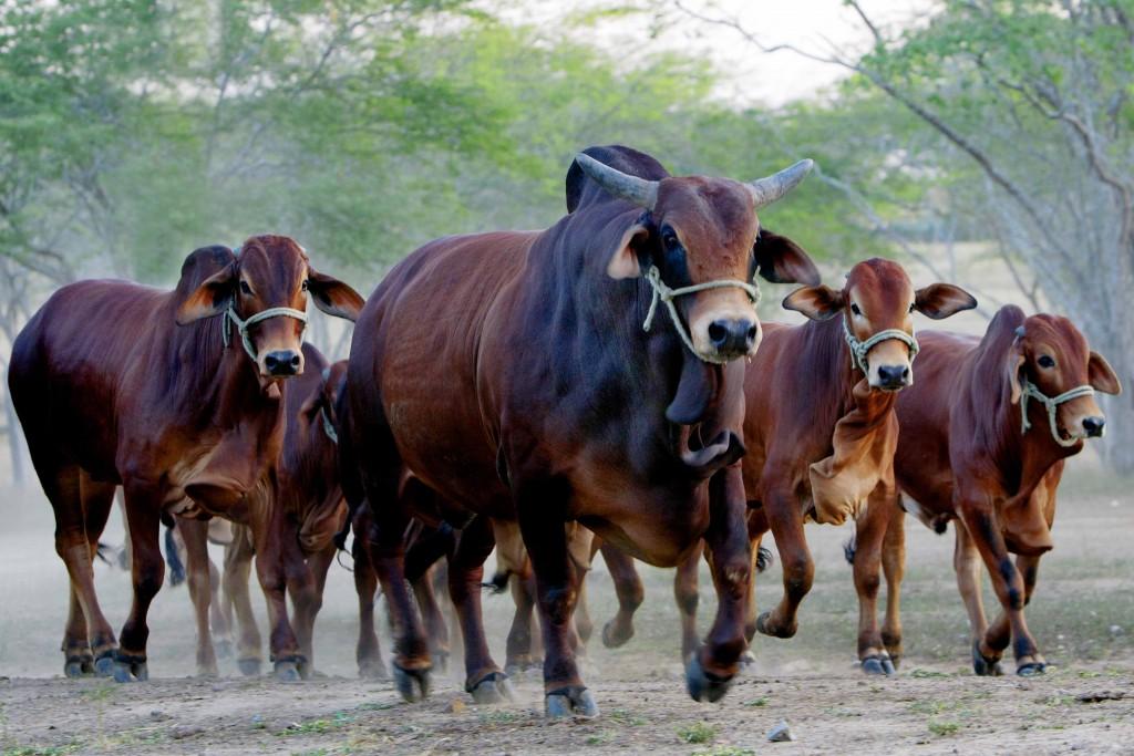 GGando Sindi, Fazenda Riacho do Navio, Campina Grande PB_70_03
