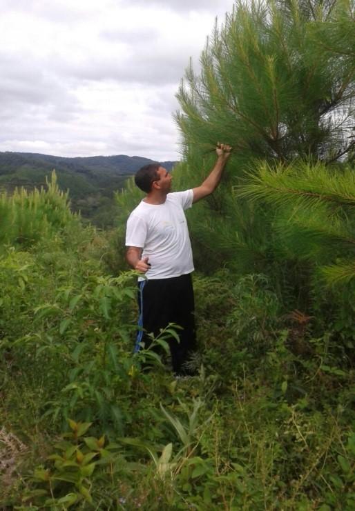 Produtor do Paraná, João Afonso de Melo, em meio à plantação de pinus