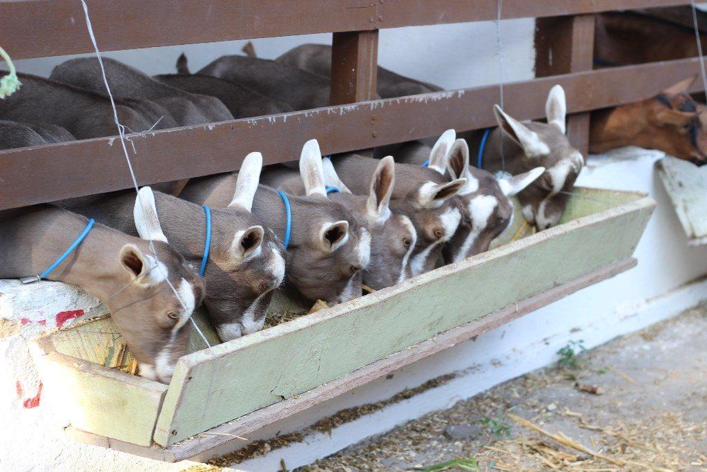 Toggenburg foi a raça com maior número de animais na IV Exposição Nacional de Cabras Leiteiras