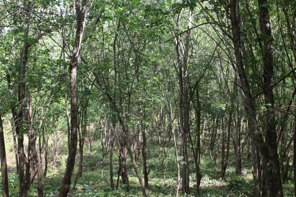 Área plantada com sabiá